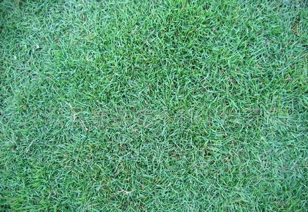 暖季型草坪之日本结缕草
