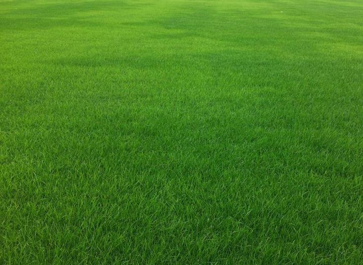 暖季型草坪之马尼拉