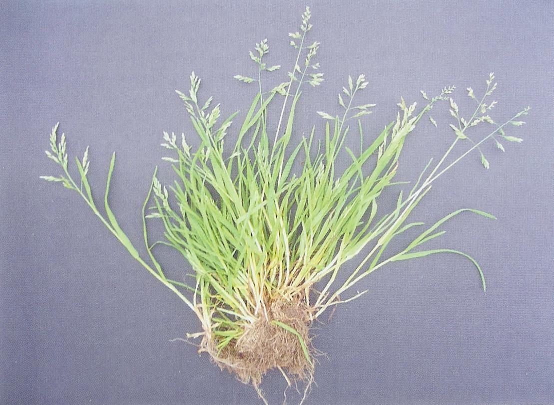 冷季型草坪之草地早熟禾