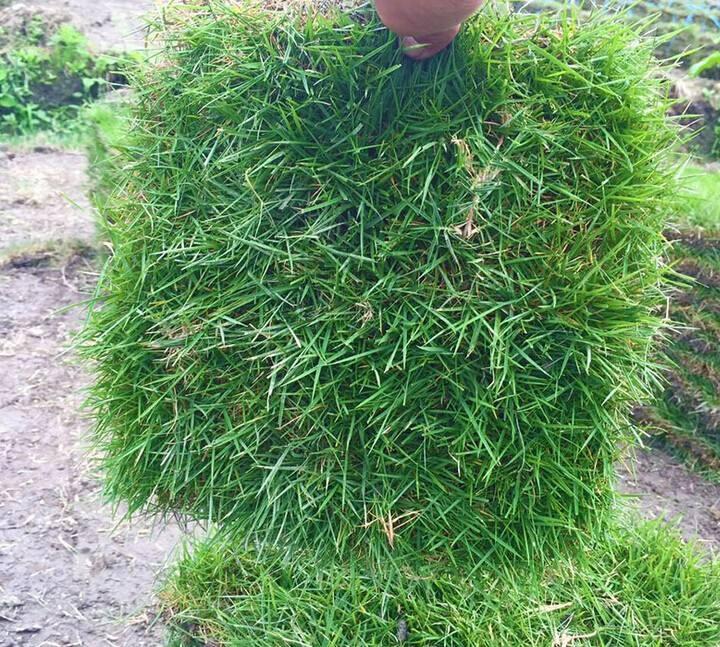 城市草坪草选什么草